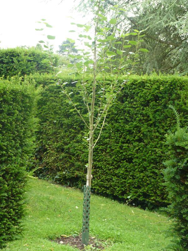Prince George Prince Charles poplar sapling