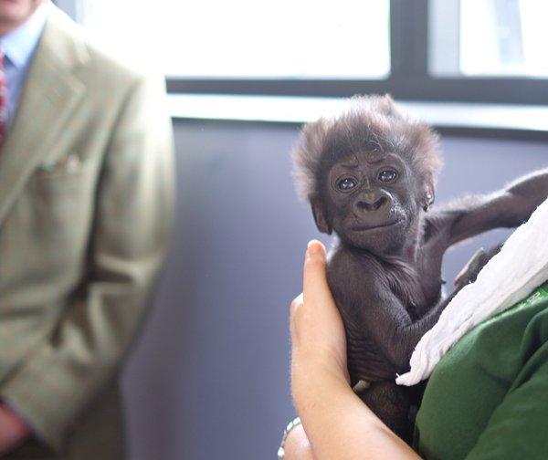 Afia baby gorilla Bristol zoo