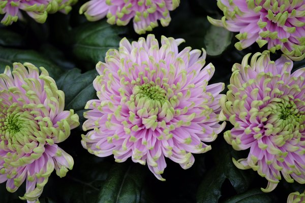 Princess Charlotte Chrysanthemum